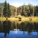 moose wading through the lake